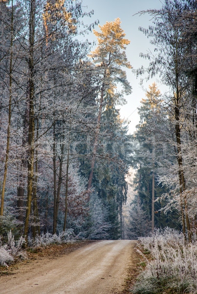Dirt track through a forest with frosted trees Stock photo © manfredxy