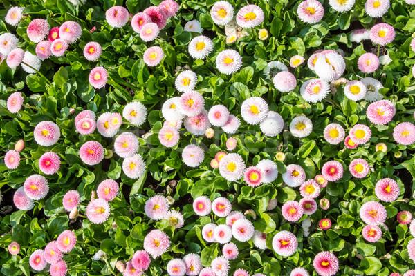 Legelő tele százszorszép virágok tavasz természet Stock fotó © manfredxy