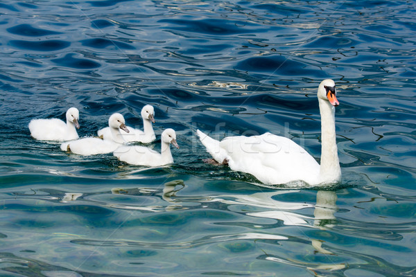 Swan family with babies Stock photo © manfredxy