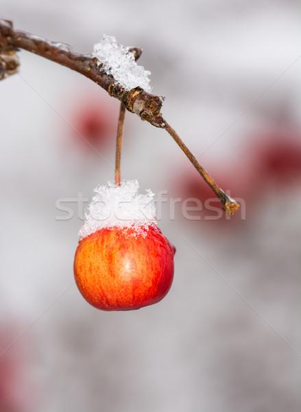 Dojrzały jabłko pokryty śniegu zamrożone drzewo Zdjęcia stock © manfredxy