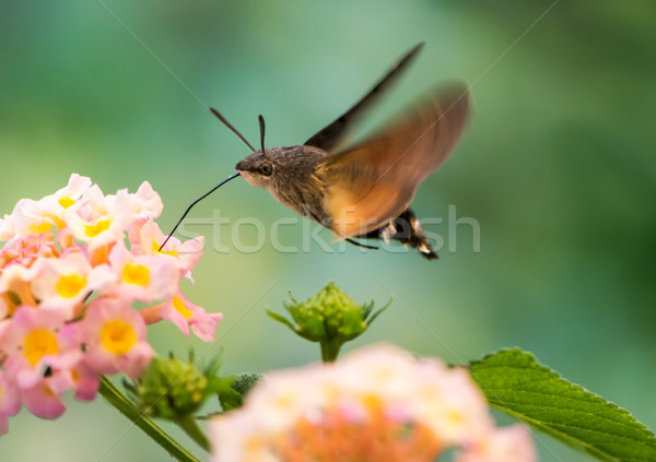 Beija-flor flor rosa Foto stock © manfredxy