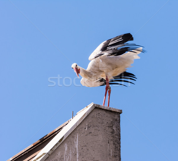 White stork standing on the roof Stock photo © manfredxy