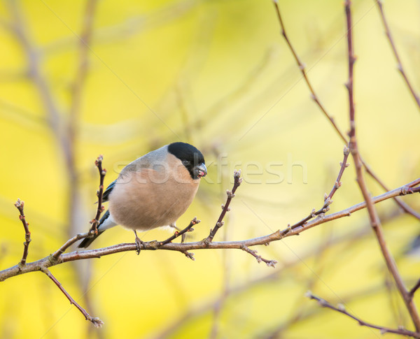 Female eurasian bullfinch bird Stock photo © manfredxy