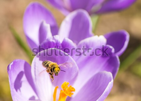 Flying Honeybee Stock photo © manfredxy