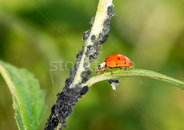 Biologique coccinelle manger nature rouge Photo stock © manfredxy