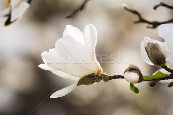 Beyaz çiçekli manolya ağaç bahar Stok fotoğraf © manfredxy
