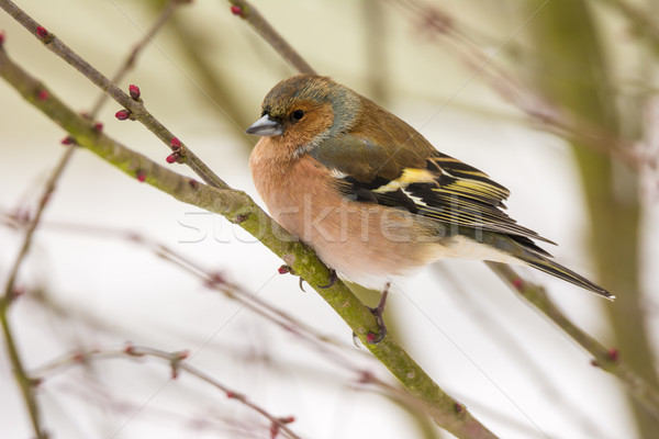 Male chaffinch bird sitting on a tree branch Stock photo © manfredxy