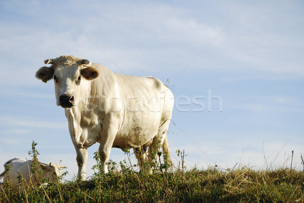 White Cow Stock photo © manfredxy