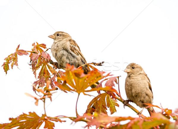 воробей пару птиц сидят веточка дерево Сток-фото © manfredxy