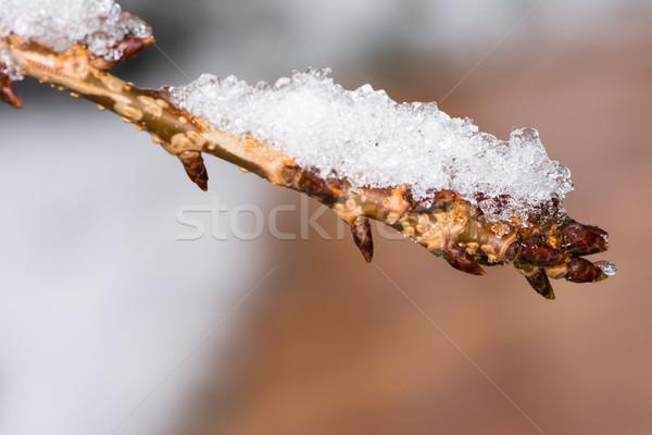 веточка покрытый снега заморожены Сток-фото © manfredxy