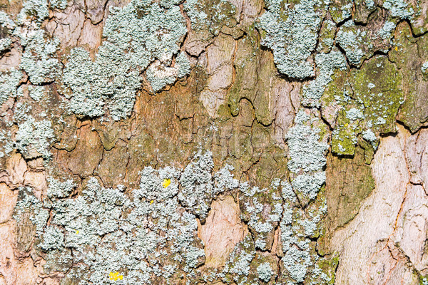Abstract natural background with lichen on a tree bark Stock photo © manfredxy