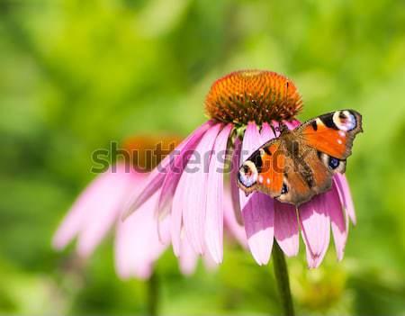 Tavuskuşu kelebek çiçek pembe çiçek kırmızı Stok fotoğraf © manfredxy
