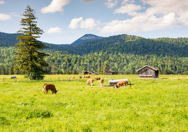 Herd of cows at a pasture in Bavaria Stock photo © manfredxy