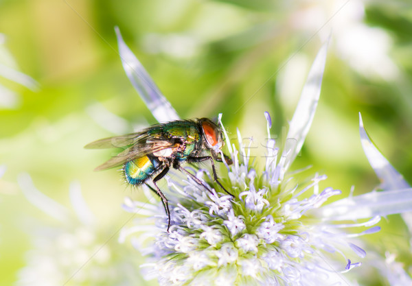 Macro of a fly on a blossom Stock photo © manfredxy
