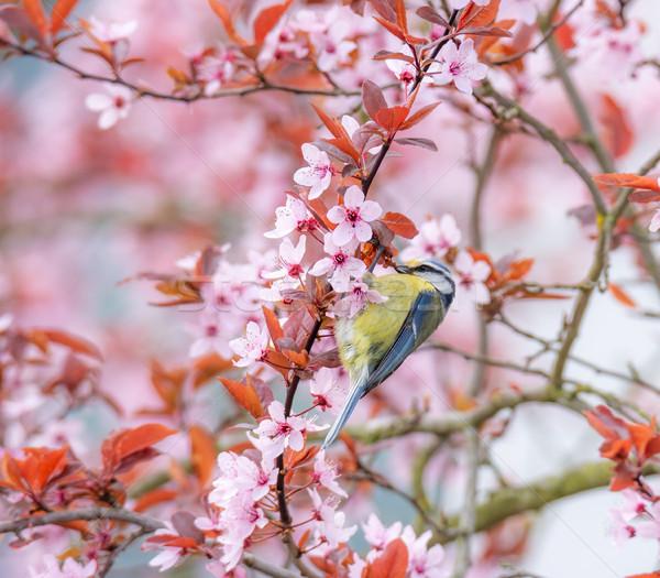 синий Тит птица цветения слива дерево Сток-фото © manfredxy