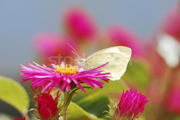 Biały Motyl nektar lata jesienią Zdjęcia stock © manfredxy