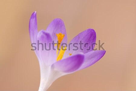 Açafrão flor primavera roxo planta belo Foto stock © manfredxy