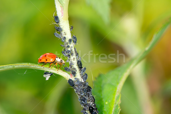 Biological Pest Control Stock photo © manfredxy