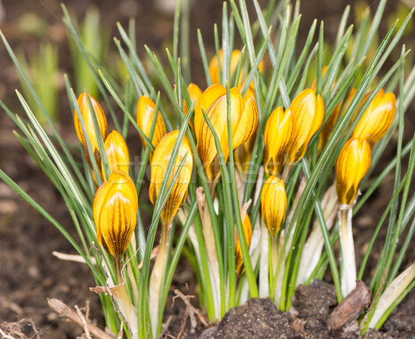 Yellow Crocus Flowers Stock photo © manfredxy