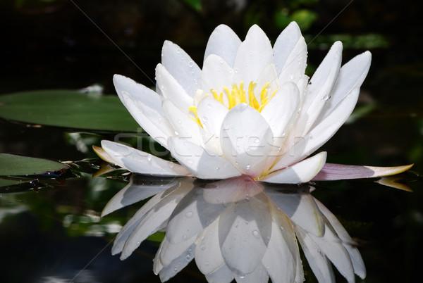 Fehér lótusz makró vadvízi liliom nyár Stock fotó © manfredxy