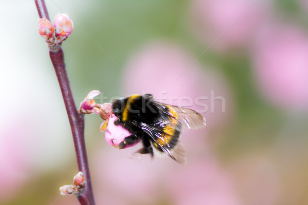 Bumblebee at pink cherry blossom Stock photo © manfredxy