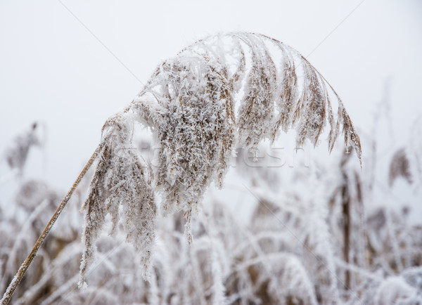 Closeup of frozen reed Stock photo © manfredxy