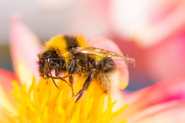Trzmiel nektar dalia kwiat makro Zdjęcia stock © manfredxy