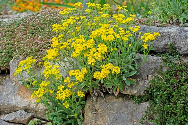 żółte kwiaty mur kwiaty ściany ogród roślin Zdjęcia stock © manfredxy