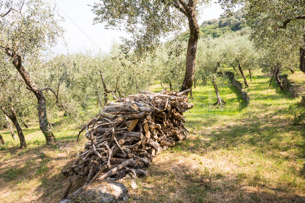 Olive Grove Stock photo © manfredxy