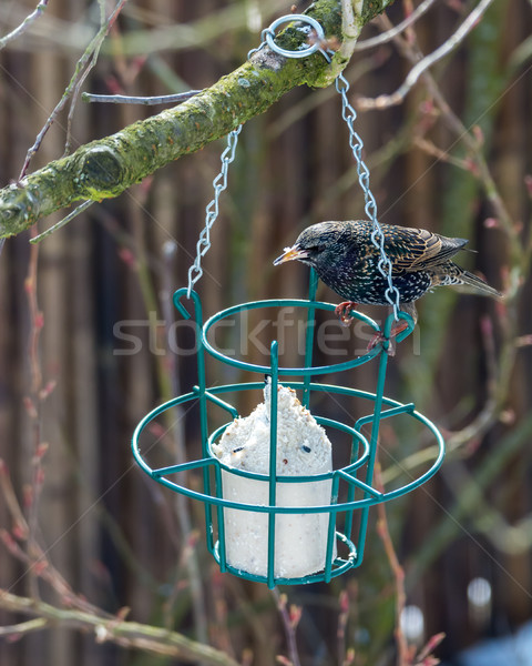 Common starling at a bird feeder Stock photo © manfredxy