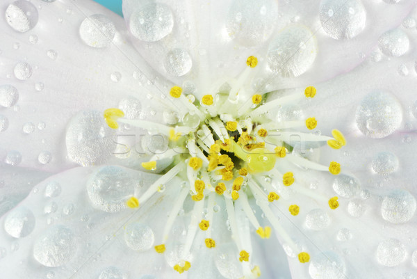 Wet Cherry Blossom Stock photo © manfredxy