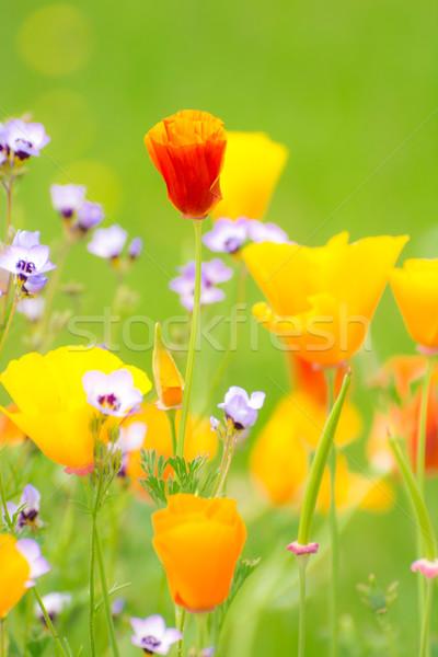Bloei zomer weide ondiep veld selectieve aandacht Stockfoto © manfredxy
