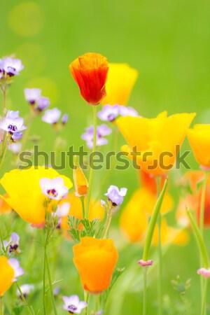 Flowering Summer Medow Stock photo © manfredxy