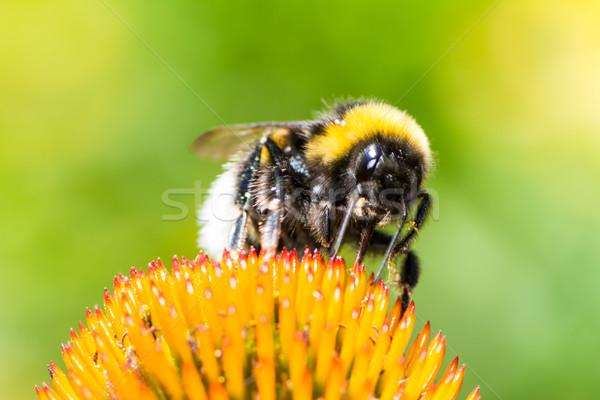 Trzmiel nektar kwiat makro Zdjęcia stock © manfredxy