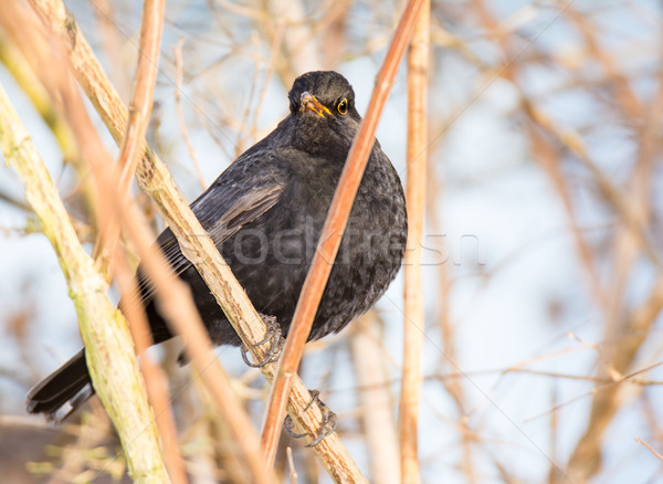 Blackbird séance Bush branche nature animaux Photo stock © manfredxy