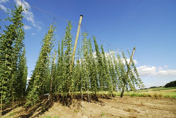 Hop plants Stock photo © manfredxy