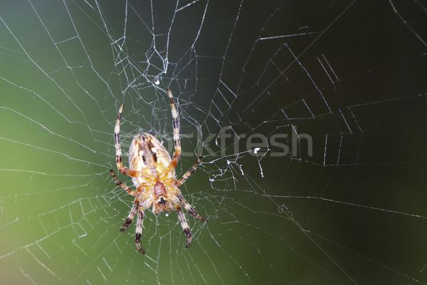 Garden Spider Stock photo © manfredxy