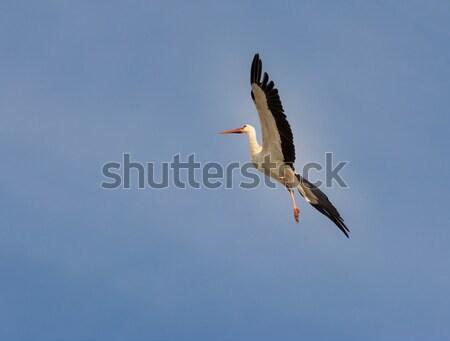 Voador cegonha branco pássaro asas vôo Foto stock © manfredxy