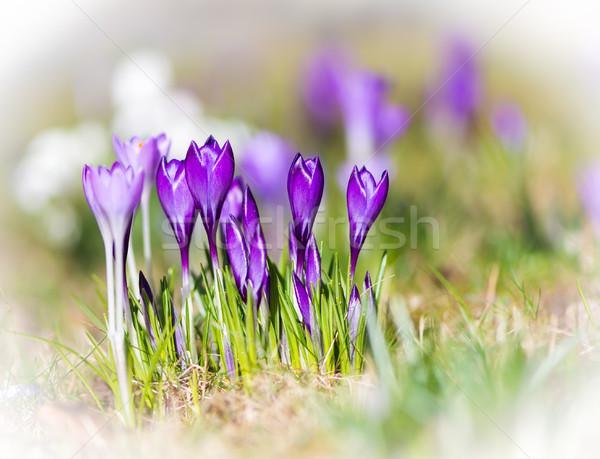 Roxo açafrão flores primavera foco Foto stock © manfredxy