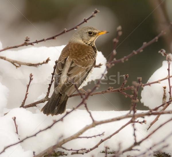 Tordo aves sesión nieve cubierto árbol Foto stock © manfredxy