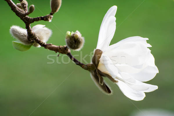 Blossoms of white flowering magnolia tree Stock photo © manfredxy