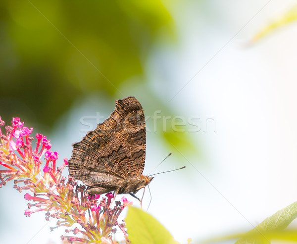 Paon papillon fleur fleurs fleur animaux Photo stock © manfredxy