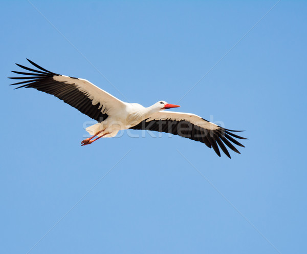 Uçan beyaz leylek mavi gökyüzü doğa mavi Stok fotoğraf © manfredxy
