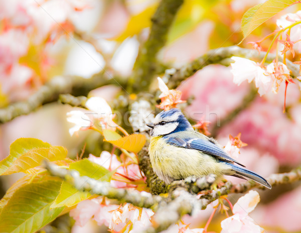 Mavi baştankara çiçekli kiraz ağaç kuş Stok fotoğraf © manfredxy