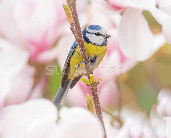 Blue tit bird in a Magnolia tree Stock photo © manfredxy