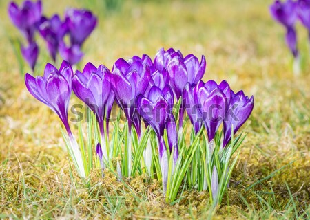 Crocus Flowers Stock photo © manfredxy