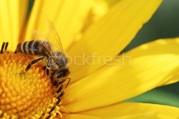 Méh gyűjt nektár sárga virág virág nyár Stock fotó © manfredxy