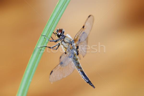 トンボ 座って 小枝 草 動物 翼 ストックフォト © manfredxy