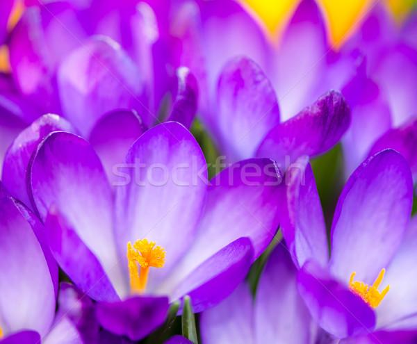 Viola crocus fiori macro gruppo fiori Foto d'archivio © manfredxy