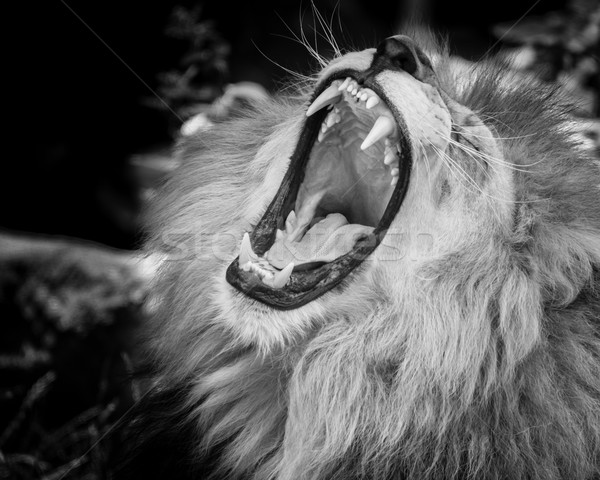 Stock photo: Black and white Portrait of  a roaring lion